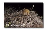 Leporillus conditor-Greater Stick-nest Rat  ZLY-710 ©Jiri Lochman- Lochman LT