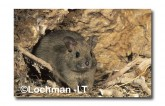 Leporillus conditor-Greater Stick-nest Rat  ZMY-525 ©Jiri Lochman- Lochman LT