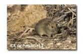 Leporillus conditor-Greater Stick-nest Rat  ZMY-537 ©Jiri Lochman- Lochman LT