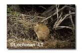 Leporillus conditor-Greater Stick-nest Rat  ZMY-553 ©Jiri Lochman- Lochman LT