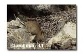 Leporillus conditor-Greater Stick-nest Rat  ZMY-566 ©Jiri Lochman- Lochman LT