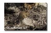 Leporillus conditor-Greater Stick-nest Rat  ZMY-567 ©Jiri Lochman- Lochman LT
