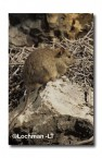 Leporillus conditor-Greater Stick-nest Rat  ZMY-569 ©Jiri Lochman- Lochman LT