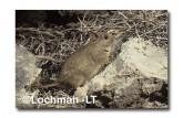 Leporillus conditor-Greater Stick-nest Rat  ZMY-572 ©Jiri Lochman- Lochman LT