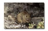 Leporillus conditor-Greater Stick-nest Rat  ZMY-581 ©Jiri Lochman- Lochman LT