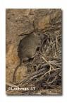 Leporillus conditor-Greater Stick-nest Rat  ZMY-594 ©Jiri Lochman- Lochman LT