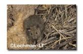 Leporillus conditor-Greater Stick-nest Rat  ZMY-596 ©Jiri Lochman- Lochman LT