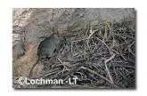 Leporillus conditor-Greater Stick-nest Rat  ZMY-601 ©Jiri Lochman- Lochman LT