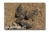 Leporillus conditor-Greater Stick-nest Rat  ZMY-603 ©Jiri Lochman- Lochman LT