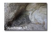 Leporillus conditor-Greater Stick-nest Rat  ZMY-613 ©Jiri Lochman- Lochman LT