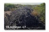 Leporillus conditor-Greater Stick-nest Rat  ZMY-617 ©Jiri Lochman- Lochman LT