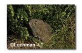 Mastacomys fuscus-Broad-toothed Rat XMY-780 ©Jiri Lochman- Lochman LT