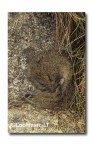 Mastacomys fuscus-Broad-toothed Rat XNY-055 ©Jiri Lochman- Lochman LT