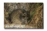 Mastacomys fuscus-Broad-toothed Rat XNY-061 ©Jiri Lochman- Lochman LT