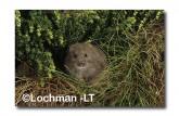 Mastacomys fuscus-Broad-toothed Rat  XNY-129 ©Jiri Lochman- Lochman LT