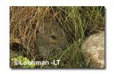 Mastacomys fuscus-Broad-toothed Rat  XNY-131 ©Jiri Lochman- Lochman LT