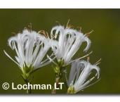 Andersonia aristata Rice Flower AED-270 ©Marie Lochman- Lochman LT