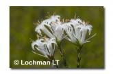 Andersonia aristata Rice Flower AED-271 ©Marie Lochman- Lochman LT