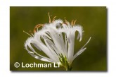 Andersonia aristata Rice Flower AED-272 ©Marie Lochman- Lochman LT