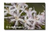 Andersonia aristata Rice Flower AED-273 ©Marie Lochman- Lochman LT