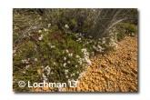 Andersonia aristata Rice Flower AED-276 ©Marie Lochman- Lochman LT