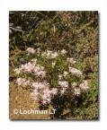 Andersonia aristata Rice Flower AED-277 ©Marie Lochman- Lochman LT