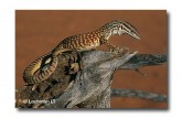Varanus acanthurus Ridge-tailed Monitor XNY-901 ©Jiri Lochman- Lochman LT