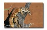 Varanus acanthurus Ridge-tailed Monitor XNY-917 ©Jiri Lochman- Lochman LT