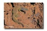 Varanus acanthurus Ridge-tailed Monitor XNY-932 ©Jiri Lochman- Lochman LT