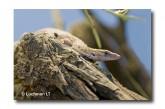 Varanus brevicauda-SHORT-TAILED PYGMY MONITOR LLH-889 © Lochman Transparencies