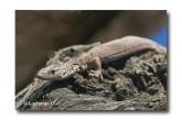 Varanus brevicauda-SHORT-TAILED PYGMY MONITOR LLH-890 © Lochman Transparencies