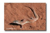 Varanus brevicauda Short-tailed Monitor LLM-654 ©Jiri Lochman LT