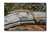 Varanus caudolineatus Stripe-tailed Monitor MMY-837 ©Marie Lochman- Lochman LT