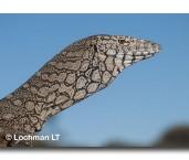Varanus giganteus Perentie LLK-060 © Jiri Lochman LT