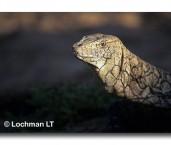 Varanus giganteus Perentie SJY-471 ©Jiri Lochman- Lochman LT