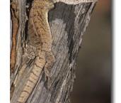 Varanus gilleni  Pygmy Mulga Monitor YAY-064 ©Jiri Lochman- Lochman LT