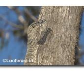 Varanus rosenbergii-HEATH MONITOR LLG-377 © Lochman Transparencies