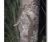 Varanus scalaris Spotted Tree Monitor LDY-333 ©Jiri Lochman- Lochman LT