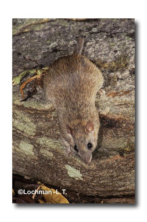 Kimberley Rock-rat