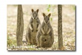 Allied Rock Wallaby LLE-445 © Lochman Transparencies