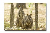 Allied Rock Wallaby LLE-446 © Lochman Transparencies