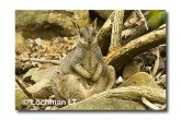 Allied Rock Wallaby LLE-447 © Lochman Transparencies