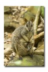 Allied Rock Wallaby LLE-450 © Lochman Transparencies