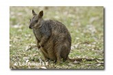 Allied Rock Wallaby LLE-460 © Lochman Transparencies