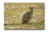 Allied Rock Wallaby LLE-461 © Lochman Transparencies