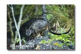 Allied Rock Wallaby LLE-463 © Lochman Transparencies