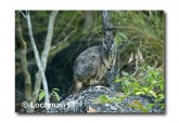 Allied Rock Wallaby LLE-465 © Lochman Transparencies