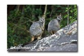 Allied Rock Wallaby LLE-466 © Lochman Transparencies