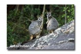 Allied Rock Wallaby LLE-467 © Lochman Transparencies