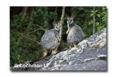 Allied Rock Wallaby LLE-467 © Lochman Transparencies